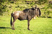 Blue wildebeest (Connochaetes taurinus) stands in profile on grass, Serengeti, Tanzania