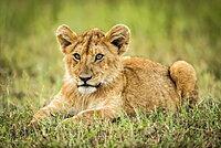 Lion cub (Panthera leo) lies in grass looking left, Serengeti, Tanzania