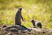 Two banded mongoose (Mungos mungo) eye camera in sunshine, Serengeti, Tanzania
