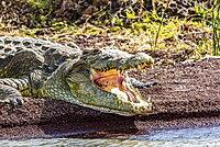 Nile crocodile (Crocodylus niloticus) in Chamo Lake, Nechisar National Park, Ethiopia