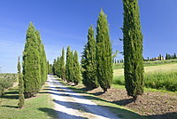 Alley of cypress trees, near Pienza, Val d'Orcia (Orcia Valley), UNESCO World Heritage Site, Siena Province, Tuscany, Italy, Europe