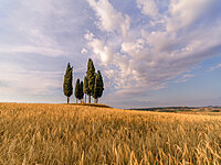Wheat field with a group of cypress trees in the middle, Val d'Orcia, Tuscany, Italy, Europe