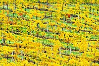 Patterned rows of yellow vines in Autumn, Panzano in Chianti, Tuscany, Italy, Europe