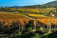 Vineyards in Autumnal colours against a dramatic sky with olive trees behind, Greve in Chianti, Tuscany, Italy, Europe