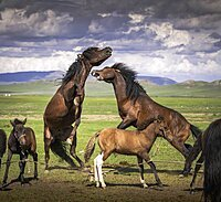 Stallions (Equus) fighting, Arkhangai Province, Mongolia, Asia