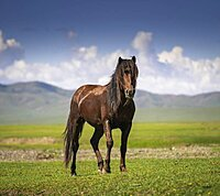 Stallion (Equus ferus caballus) Pose, Arkhangai Province, Mongolia, Asia