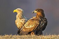 Young white-tailed eagle (Haliaeetus albicilla) in foreground with old eagle in background, Kutno, Poland, Europe