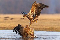 Two young white-tailed eagles (Haliaeetus albicilla) fighting for prey in flight, winter, Kutno, Poland, Europe
