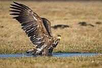 Bathing White-tailed eagle (Haliaeetus albicilla), Kutno, Poland, Europe