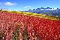 Field with ripe quinoa (Chenopodium quinoa), Andahuaylas Province, Peru, South America