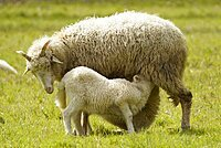 Forest sheep, lamb being suckled by mother, Germany, Europe