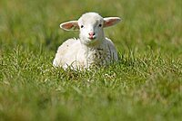 Forest sheep, lamb lying in a pasture, Germany, Europe
