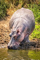 Hippopotamus (Hippopotamus amphibius) on river bank bends to drink, Serengeti, Tanzania