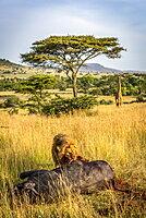 Male lion (Panthera leo) eats buffalo as giraffe (Giraffa camelopardalis tippelskirchii) watches, Serengeti, Tanzania