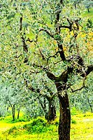 Bright shades of green sunlit olive trees and grass in Autumn after the rain, Greve in Chianti, Tuscany, Italy, Europe