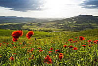 landscape with red poppies, near Pienza, Val d`Orcia, province of Siena, Tuscany, Italy, UNESCO World Heritage