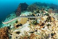 Venomous Banded yellow-lipped sea snake (Laticauda colubrina), also known as a sea krait, Philippines