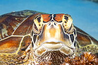 A close look into the eyes of a Green sea turtle (Chelonia mydas), an endangered species, Philippines