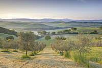 Early morning view across Val d'Orcia from field of olive trees, UNESCO World Heritage Site, San Quirico d'Orcia, near Pienza, Tuscany, Italy, Europe