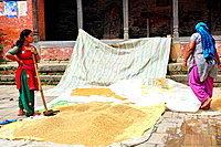 Women spreading rice to dry, Changunarayan, Kathmandu Valley, Nepal