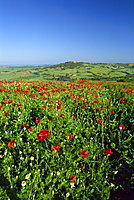 View across field of poppies to hilltop village above Val d'Orcia, Pienza, Tuscany, Italy, Europe