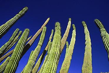 Tall cacti grow towards the sky in the Sonoran Desert, AZ.