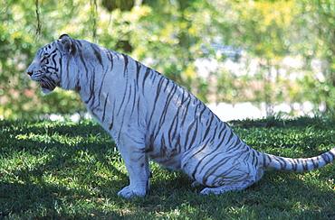 A white Bengal tiger at the Metro-Dade Zoo in Miami, Florida.