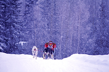 Eleven-year-old David Stepp races in the 2-Dog race on the first day of the in the Junior North American, International Federation of Sleddog Sports Junior World Championships in Fairbacks, Alaska.