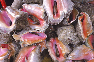 Live Conch for sale on the streets of Nassau in the Bahamas. Conch, one of the most popular local foods in the Bahamas, is being severely overfished.