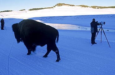 A bison bull strolls by a wildlife photographer on the road of the Hayden Valley, Yellowstone National Park.
