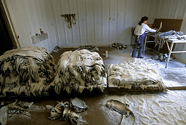 Hope Savoie sorting alligator skins at Savoie's Alligator Farm in Galliano, Louisiana.