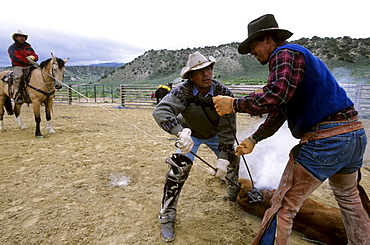 """Chilean """"cowboys"""", Yael and Sergio Velasquez, brand a calf, while another man on a horse holds the calf still with a rope, during a traditional branding on a ranch in Northwest Colorado.  The ranch employs about a dozen Chileans through the US Guestworker program.  Each worker spends three years working on the remote ranch."""