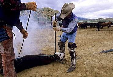 """A Chilean """"cowboy"""", Yael Velasquez, dehorns a calf while another man brands the animal, during a traditional branding on a ranch in Northwest Colorado.  The ranch employs about a dozen Chileans through the US Guestworker program.  Each worker spends three years working on the remote ranch."""