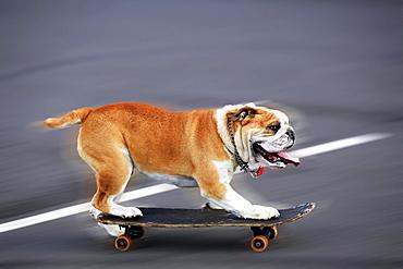 English bulldog on a skateboard, movement shot.