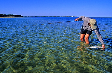 A salt water fly fisherman catches and releases a striped bass on the white sand flats off Chatham, Cape Cod, Massachusetts.