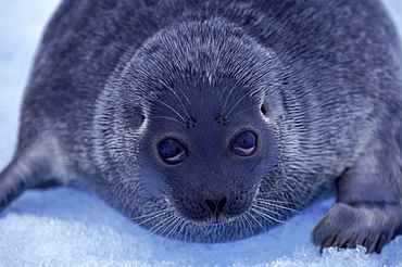 A baby seal sits on the ice of Arctic Bay. It has strayed away from its ice hole.
