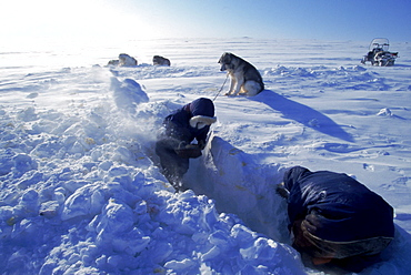 Igloolik, Samuillie Amnaq out digging out his dog team. He is unearthing the chain that holds them. He enjoys keeping them and rents them out for sport hunts.