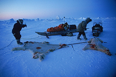 Polar Bear Hunt, Nunavut. Hunters shot 3 caribou on the way out, skinning them. Two hunters were trying to get the bear first.