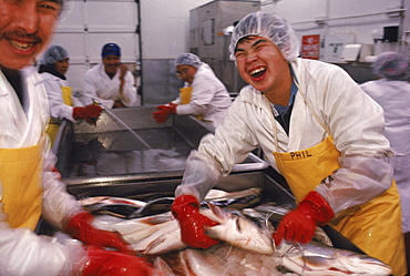 Workers at Kitikmeot Foods in Cambridge Bay clean and sort Arctic Char to export. They ship meat and fish as far as Boston, Massachusetts.