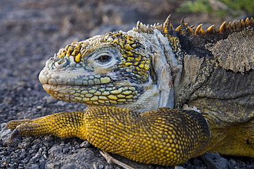 A land iguana gives the camera a sideways glance on South Plaza Island in the Galapagos.
