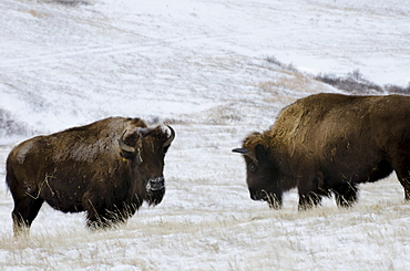 Ft. Peck has an existing herd of bison that are not genetically pure Yellowstone bison.  These run in a pasture next to the Yellowstone bison. The pure bsion are being held in a 20-acre pen until they're released to into a fenced pasture.