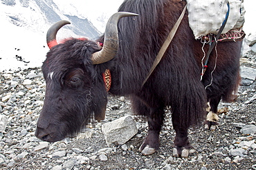 A Yak at Everest Base Camp