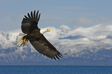 American Bald Eagle in flight near Homer, Alaska.