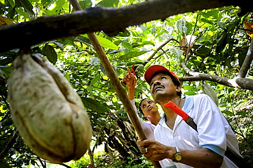 Workers pick cacao pods (Theobroma cacao) among lush, green trees and vegetation in Choroni, Venezuela.
