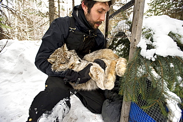 After processing, A wildlife technician carries the lynx back to the trap.