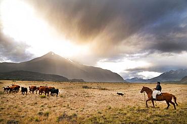 Patagonia Gaucho herding sheep on Estancia Chacabuco, Patagonia.