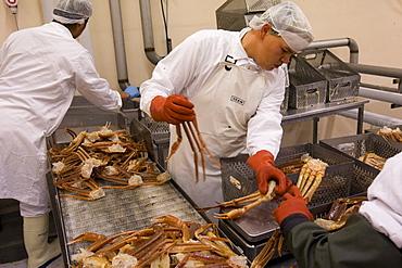 Narsaq Seafood Processing Snow Crabs in Narsaq, Greenland.
