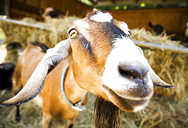 Wide angle shot of an Oberhasli goat at Beltane Farm in Lebanon, Connecticut.