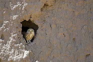 A Little owl (Athena noctua) peers from a hole in the mud wall of an old fort, in the town of Gurian, Herat Province