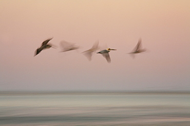 The movement of five pelicans is blurred as they pass by a pink sunset sky in Baja California's Magdalena Bay, a hot spot for wildlife seekers. Mexico.